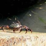 Crabe du littoral rocheux