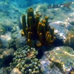 Corail cerveau - éponges tubulaires jaunes