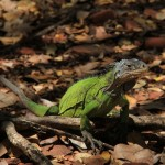 iguane des Petites Antilles